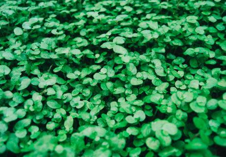 St. Patrick's Day in Siskiyou