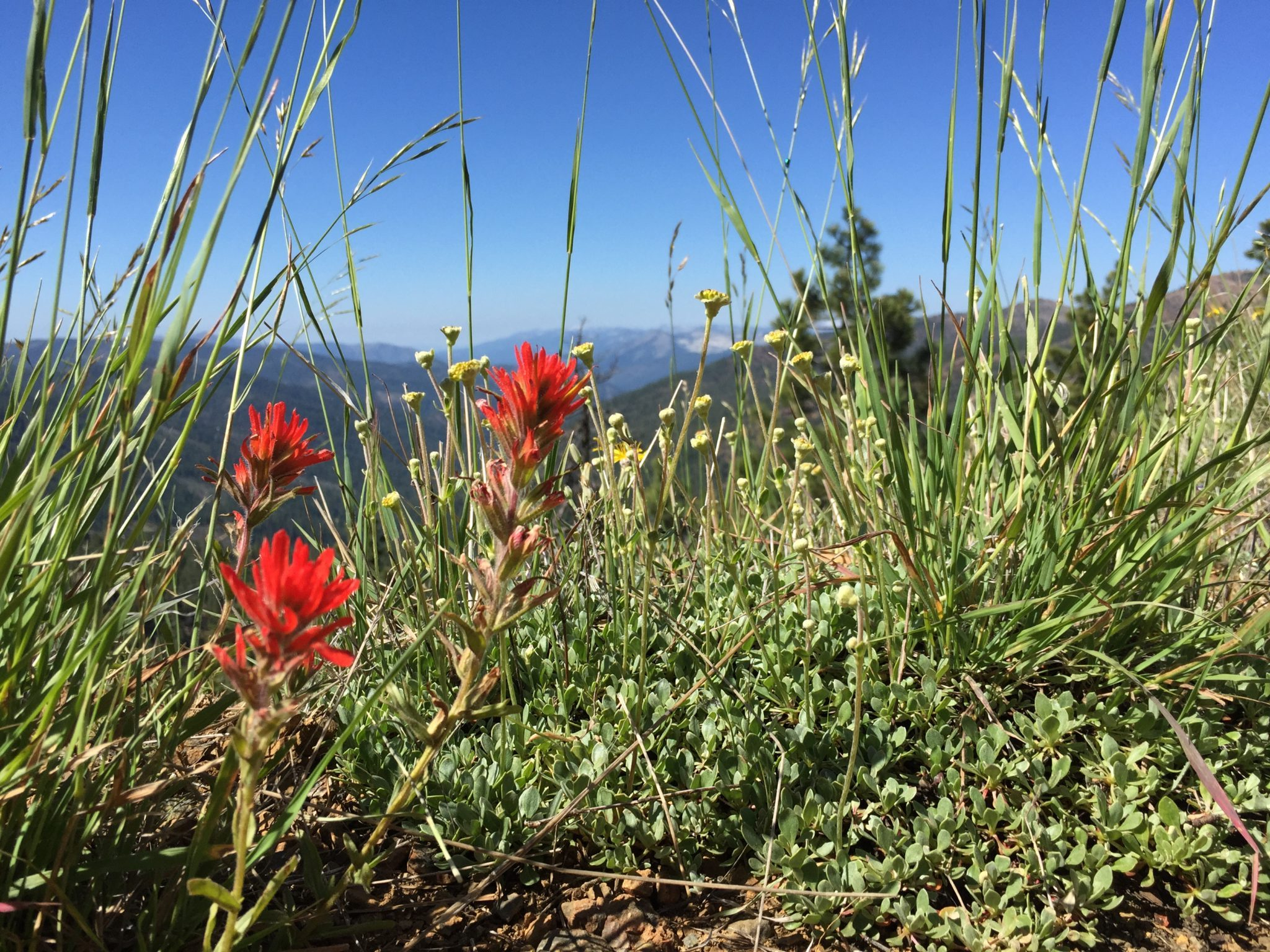 Indian Paintbrush plant, Siskiyou